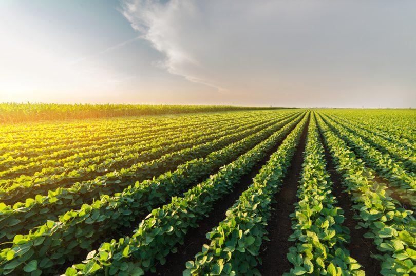 champ de plantation de soja