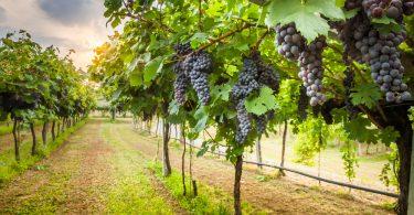 Vigne alsacien